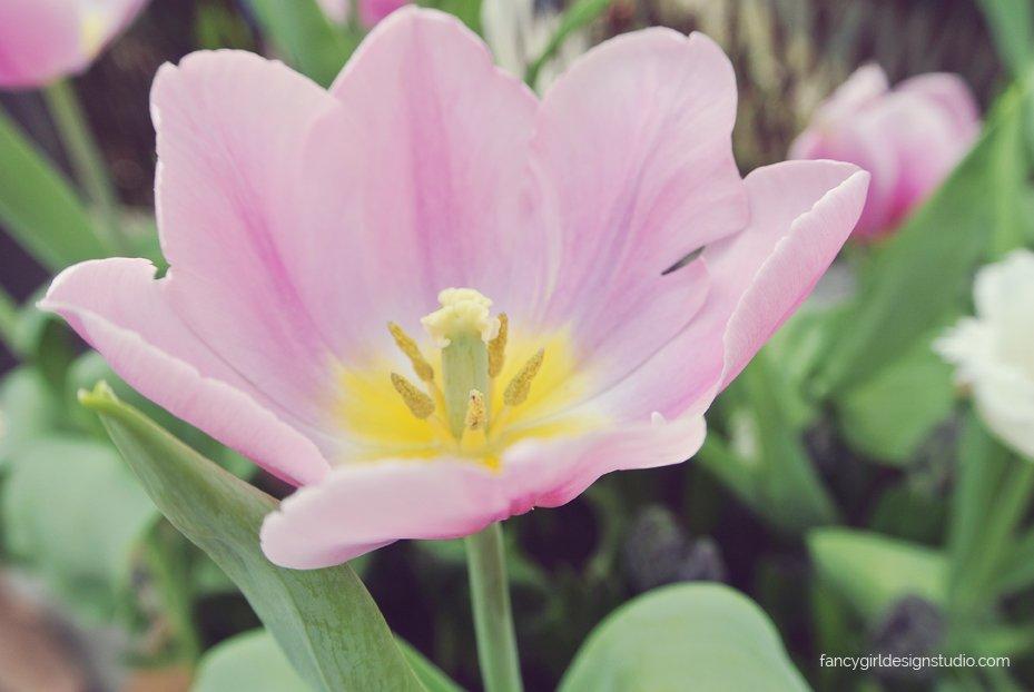 tulipmania-1