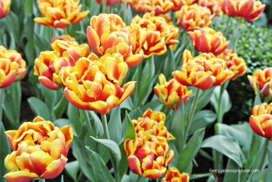 tulipmania-6